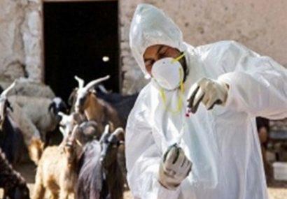 مایه کوبی بیش از ۷۲۰۰ رأس دام سبک علیه بیماری تب مالت در شهرستان انار