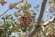 اطلاعیه جهاد کشاورزی انار در خصوص گرمازدگی باغات پسته
