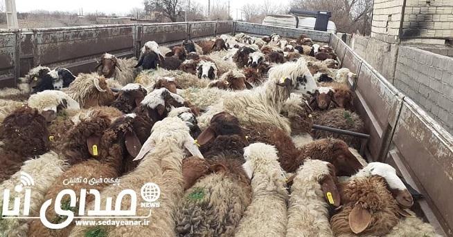 حمل ۱۱۲راس گوسفند با مجوز جعلی