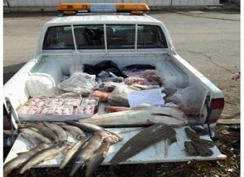 ضبط و معدوم سازی بیش از ۵۵ کیلوگرم ماهی گرم فاسد، غیر مجاز و غیر قابل مصرف در شهرستان انار