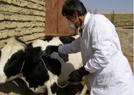 اجرای طرح واکسیناسیون جمعیت دام سنگین علیه بیماری تب مالت در شهرستان انار