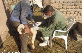 اجرای طرح واکسیناسیون دام سبک علیه بیماری تب مالت در شهرستان انار