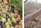 اطلاعیه جهاد کشاورزی انار درباره سمپاشی علیه آفت پروانه چوب خوار و میوه خوار درختان پسته