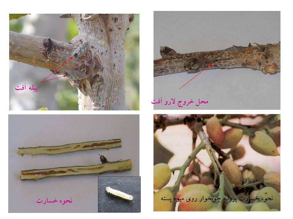 اطلاعیه جهاد کشاورزی انار درباره سمپاشی علیه آفت پروانه چوب خوار درختان پسته