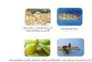 اطلاعیه جهاد کشاورزی شهرستان انار در خصوص زمان مبارزه علیه سنک و پروانه میوه خوار پسته