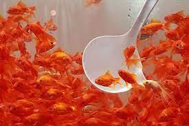 توصیه های بهداشتی در هنگام خرید و نگهداری ماهی قرمز عید نوروز