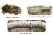 اطلاعیه جهاد کشاورزی انار در خصوص مبارزه با آفت سوسک سرشاخه دار درختان پسته