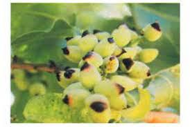 اطلاعیه جهاد کشاورزی انار در خصوص افزایش عارضه لکه پوست استخوانی در باغات پسته