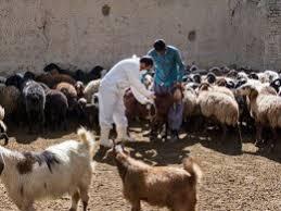 لزوم واکسیناسیون دام ها بر علیه بیماری آنتروتوکسمی در شهرستان انار