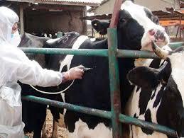 اجرای فاز اول واکسیناسیون دام سنگین علیه بیماری تب برفکی شهرستان انار