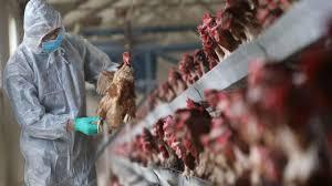 اجرای طرح پایش و مراقبت فعال بیماری آنفلوانزی فوق حاد پرندگان در شهرستان انار