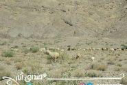 مساحت مراتع شهرستان انار یکصد و ۱۳هزار هکتار می باشد