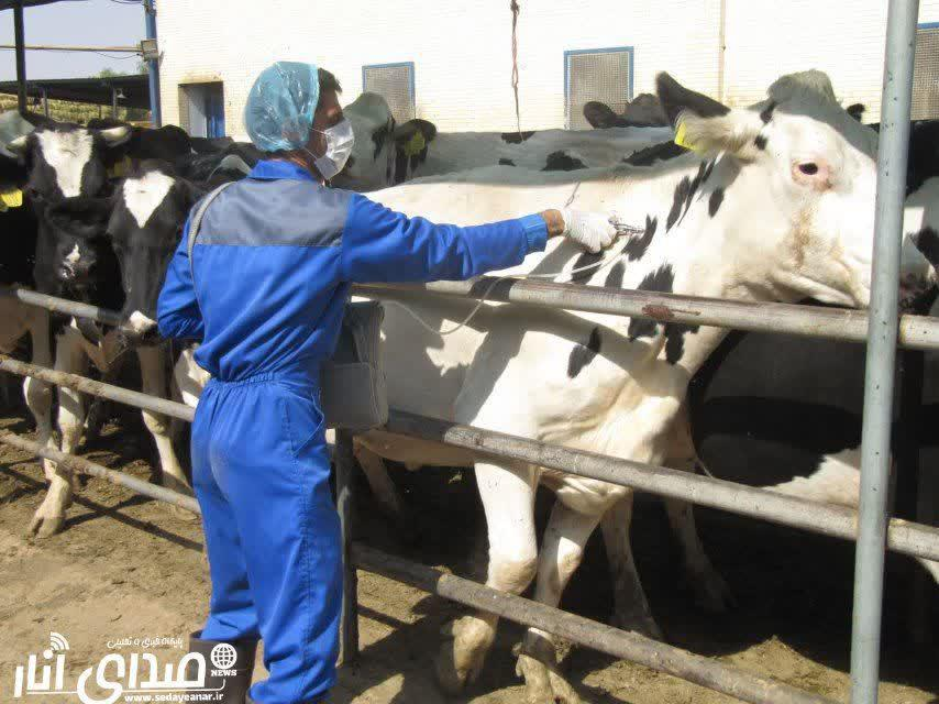 اجرای فاز دوم واکسیناسیون جمعیت دام سنگین علیه بیماری تب برفکی در شهرستان انار